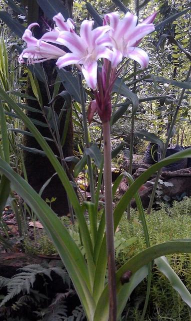 Amryllis Lily / Rs 50 - 200