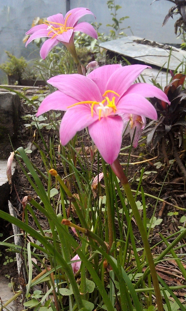 Kaser Lily / Rs 30 per bulb