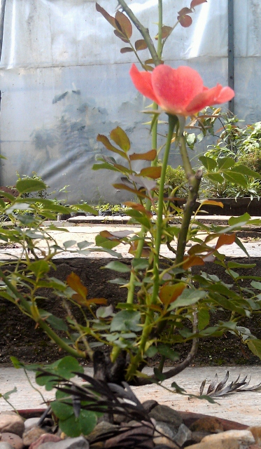 Pink Rose / Rs 50 - 200