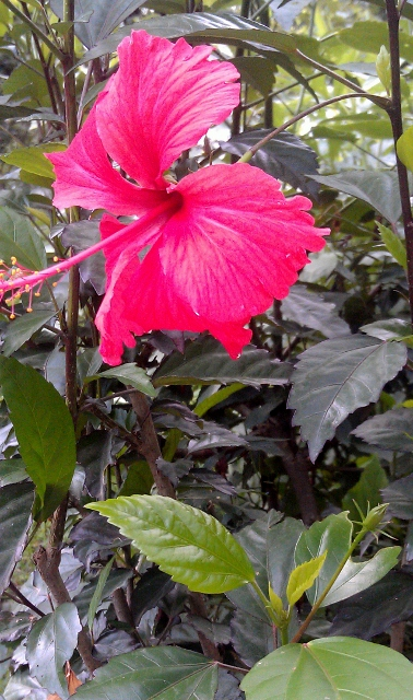 Hibiscus / Rs 50 - 300