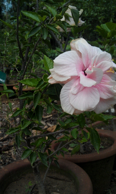 Double Hibiscus / Rs 50 - 300