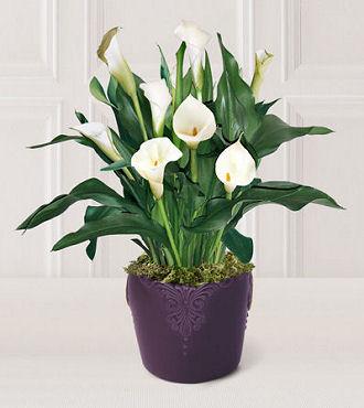 Calla Lily / Rs 50 - 300