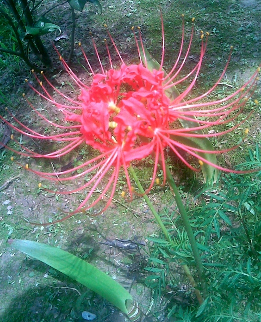Spider Lily / Rs 110 per bulb