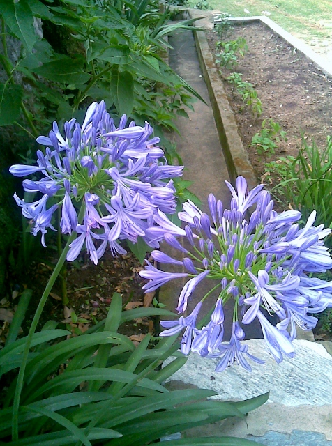 African Lily / Rs 150 - 300