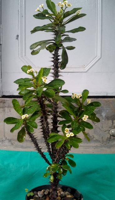 Euphorbia / Rs 150 - 500