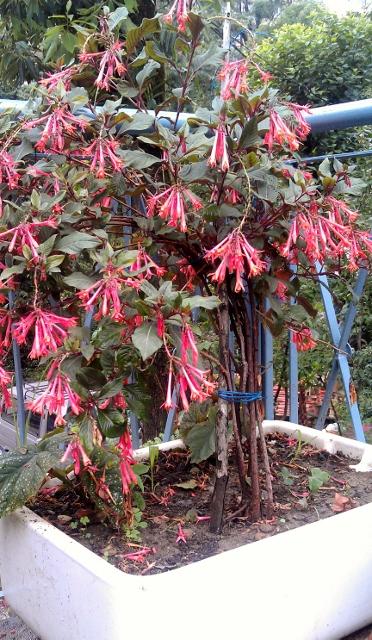 Fuchsia / Rs 100 - 600