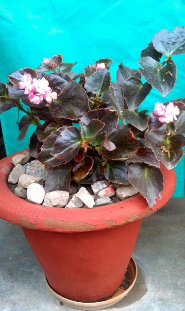 Begonia / Rs 50 - 275