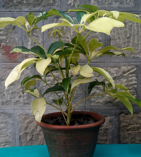 Schefflera Brassia / Rs 250 - 700