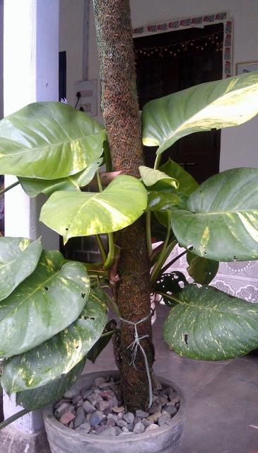 Money Plant / Rs 100 - 1000