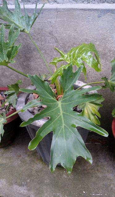 Philodendron Zanadu / Rs 250 - 1000