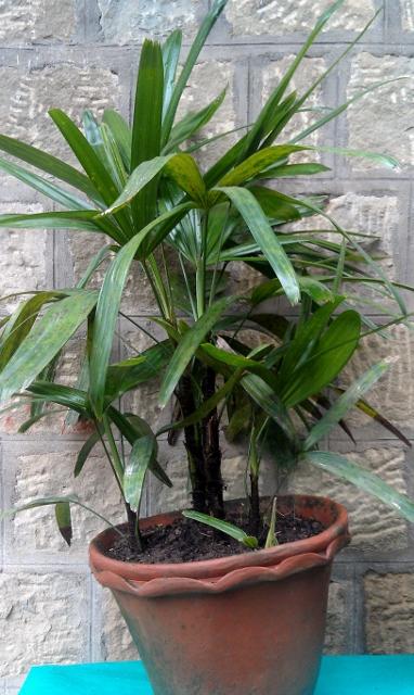 Mimiature Fan Palm / Rs 200 - 700