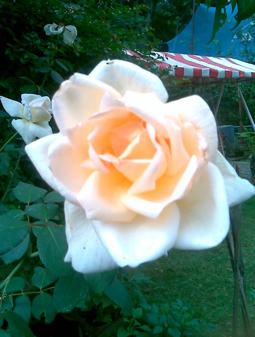 White Rose / Rs 50 - 200