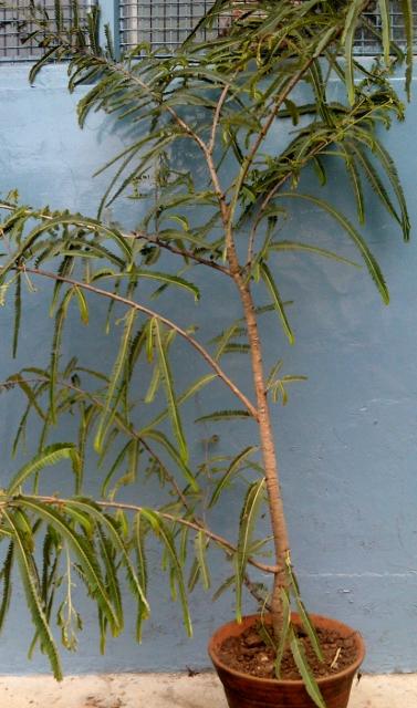 Gooseberry (Amla) / Rs 50 - 250
